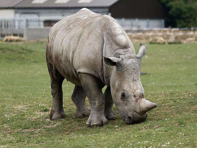 White Rhino, Park, Nature, Conservation