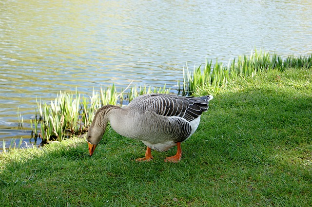 Animals, Geese, Parks, Normandy, France