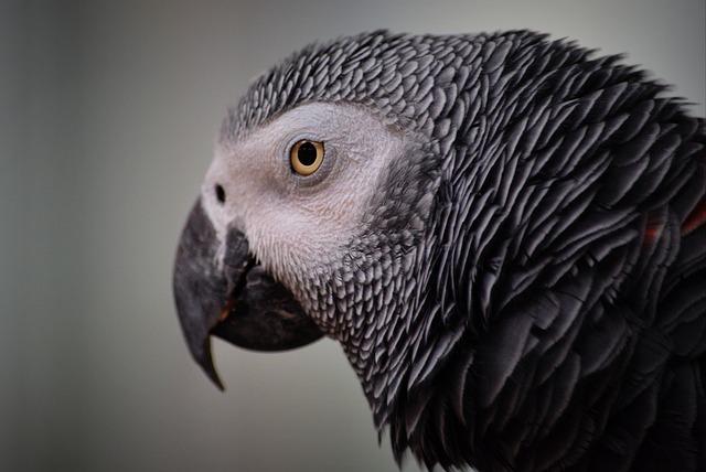Parrot, Animal, Bird, Grey, Ara