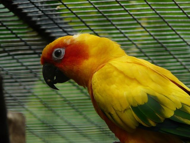 Sun Parakeet, Parrot, Aratinga Solstitialis, Bird