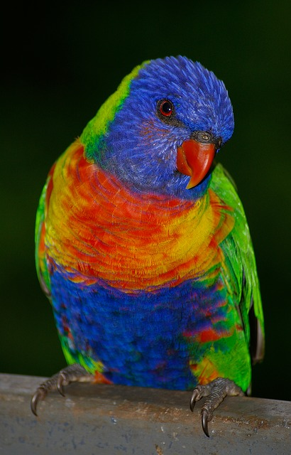 Rainbow Lorikeet, Parrot, Colourful, Bird, Bright