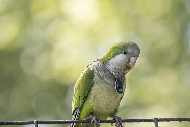 Birds, Parrot Grey, Zoo