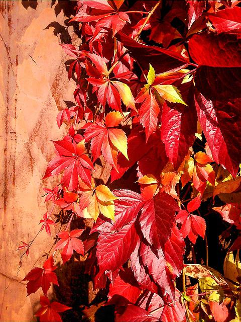 Parthenocissus, Leaves, Red Leaves, Autumn Leaf