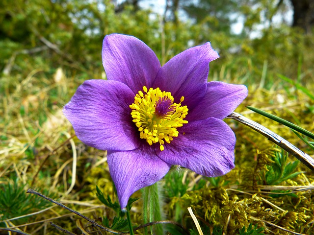 Pasque Flower, Common Pasque Flower