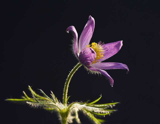 Pasqueflower, Pasque Flower, Flower, Nature, Plant