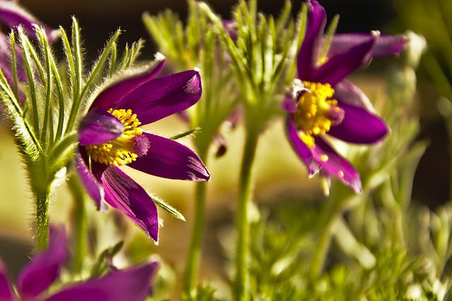 Pasqueflower, Pasque Flower, Pulsatilla Vulgaris
