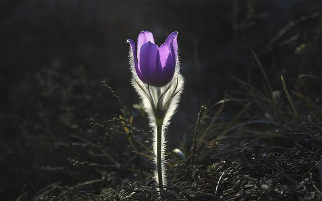 Pasqueflower, Flower, Pasque Flower, Plant, Nature
