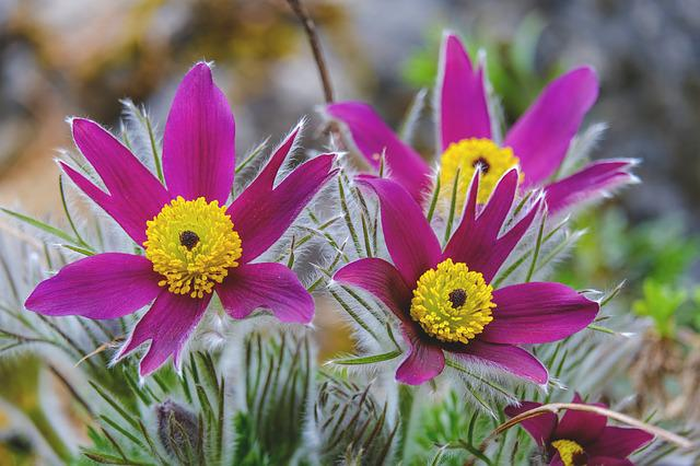Pasqueflower, Flowers, Nature, Pasque Flower, Spring
