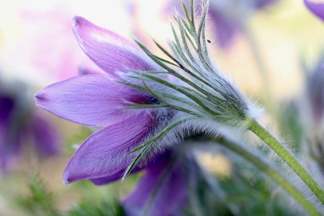 Pasque Flower, Pasqueflower, Blossom, Bloom, Violet