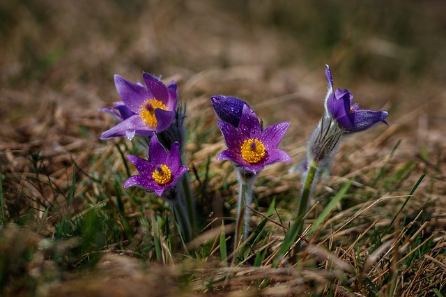Pasque Flower, Flower, Nature, Pasqueflower, Plant