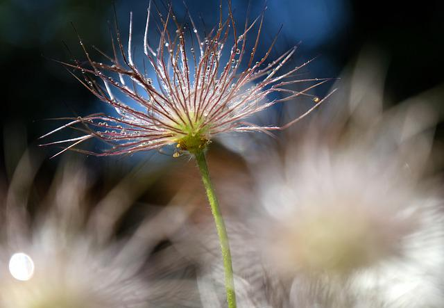 Plant, Flower, Pasqueflower, Pasque Flower