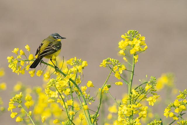 Bird, Western Yellow Wagtail, Motacillidae, Passerine