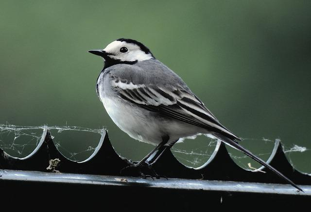 White Wagtail, Passerine Bird, Songbird, Feather