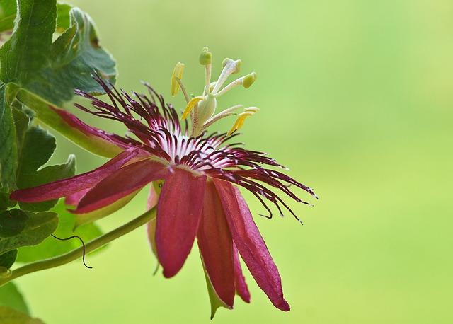 Passiflora, Passion Flower, Flower, Blossom, Bloom