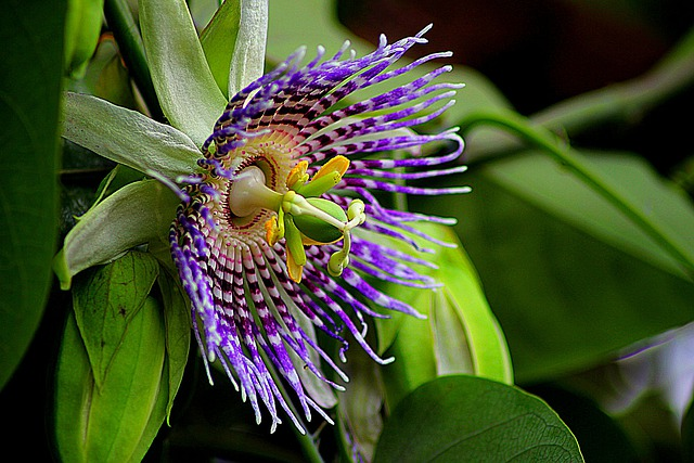 Flower, Passiflora Edulis, Floral, Plant, Natural
