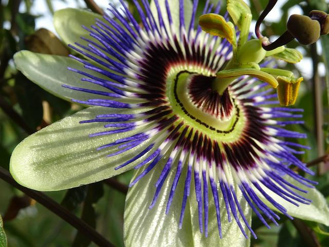 Passion Flower, Close, White Purple