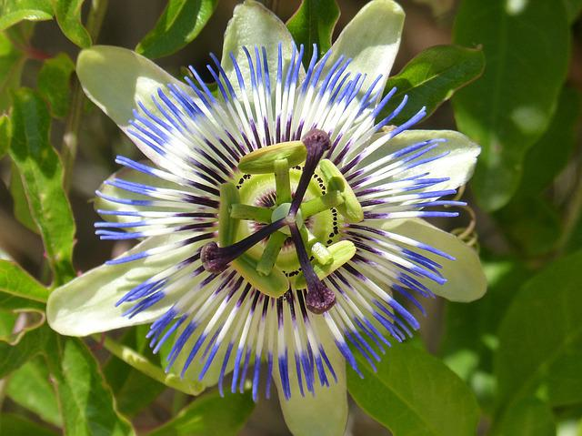 Passiflora Caerulea, Passiflora, Passion Flower
