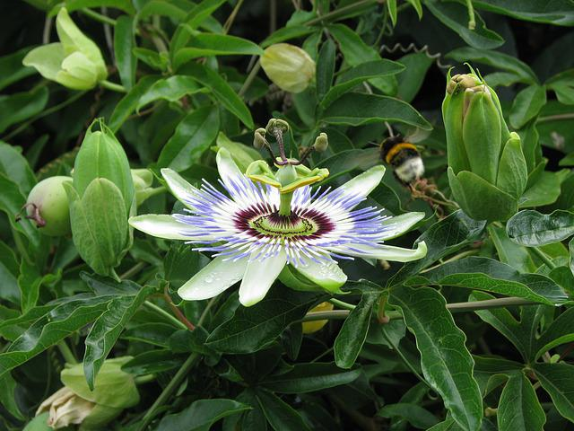 Passion Flower, Summer, Close Up