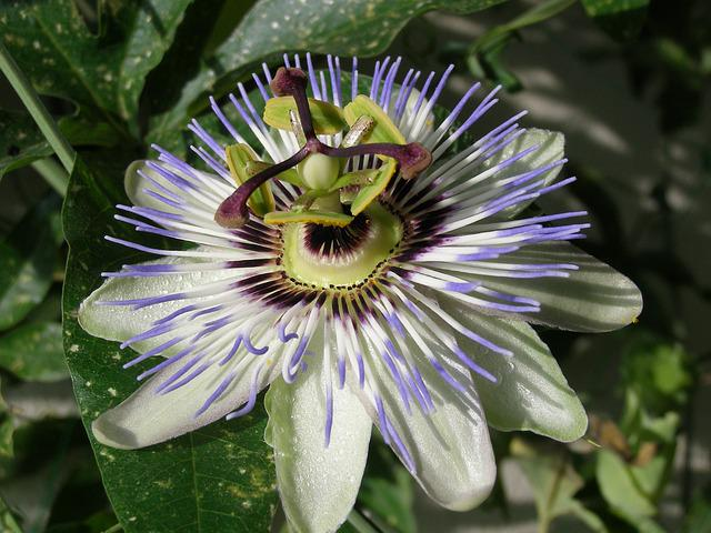 Passion Fruit, Blossom, Bloom, Blue Passion Flower