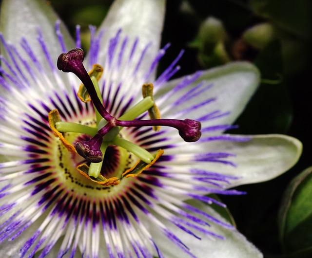 Passion Fruit, Flower, Summer, Tropical, Beautiful