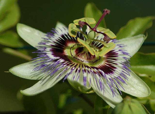 Passionflower, Flower, Exotic, Blue, Beauty, Nature