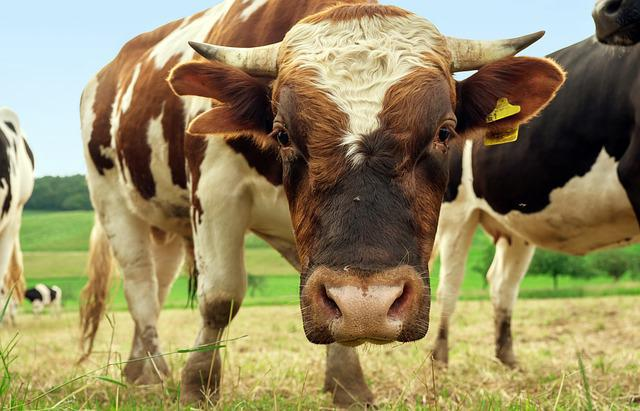 Beef, Animal, Bull, Brown White, Face, Pasture