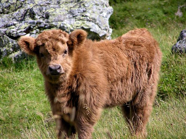 Haighlander, Cow, Animal, Puppy, Animals, Pasture