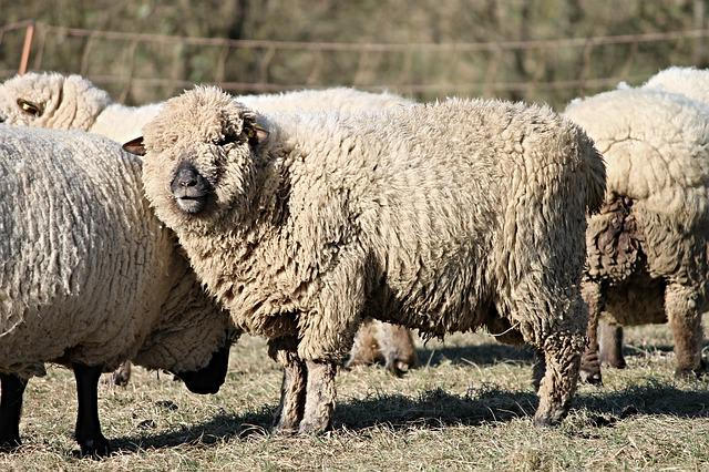 Sheep, Wool, Wool Sheep, Fur, Pasture, Winter, Animals