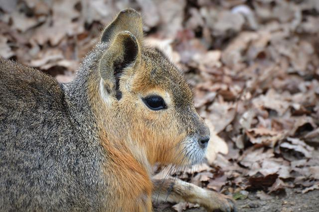Patagonian Hare, Mara, Animal, Pampa Haas, Rodent