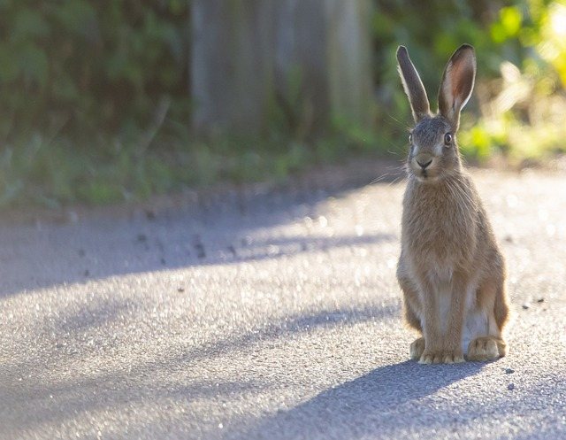Young Hare, Leveret, Hare, Baby Hare, Grass, Pathway