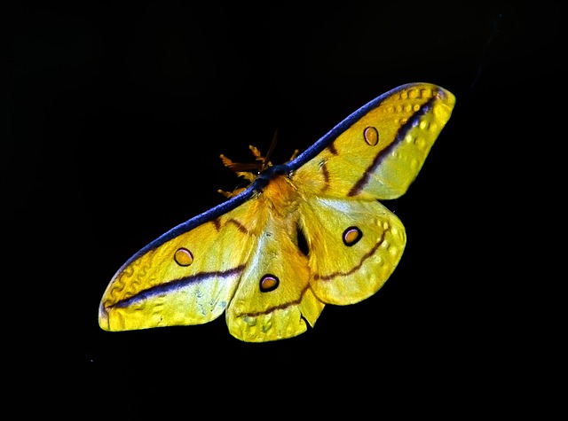 Moth, Large, Insect, Yellow, Black, Blue, Pattern, Bold