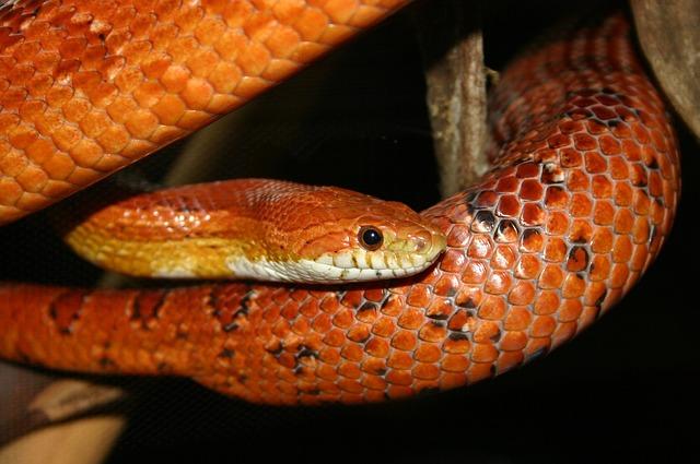 Orange, Corn, Snake, Pattern