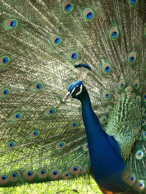 Peacock, Iridescent, Blue, Pavo Cristatus