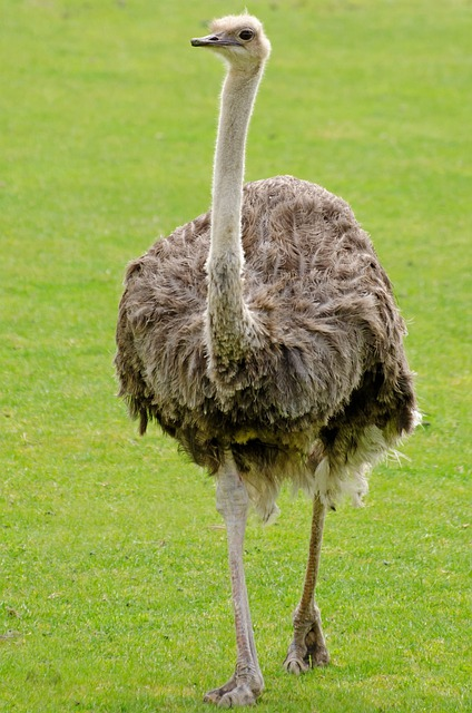 Emu, Ostrich, Neck, Bird, Paw, Background, Biped, Head