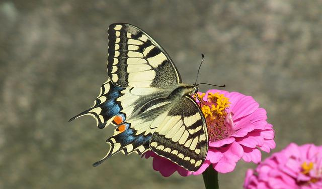Butterfly Day, Insect, Paż Queen, Nature, Flower