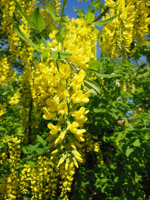Laburnum Anagyroides, Pea Family, Close-up, Golden Rain