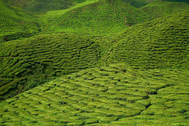 Tea, Plant, Green, Landscape, Nature, Peace, Tea Garden