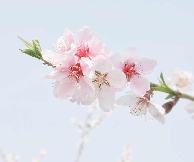 Peach Blossom, The Scenery, Flowers