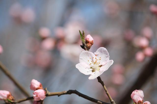 Peach Blossom, Peach Embankment, Tianjin