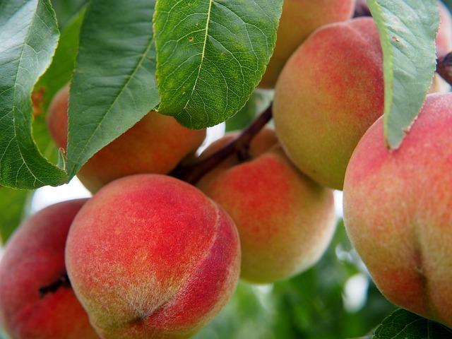 Peach, Fruit, Fruits, Peach Tree, Bio, Tree, Eat