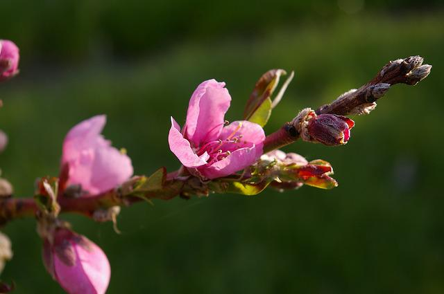 Peach Tree, Peach Blossom, Spring, Nature, Pink
