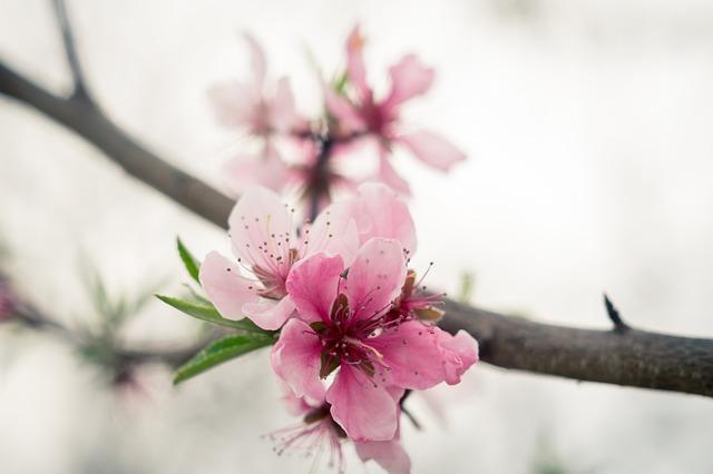 Peach Blossom, Peach, Wood, Flowers