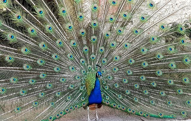 Peacock, Bird, Animal, Feather, Spring Dress, Gorgeous