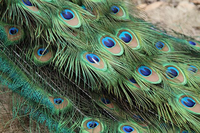Peacock, Feather, Bird, Peafowl, Tail