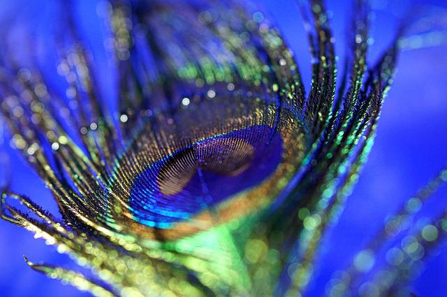 Peacock Feather, Macro, Bokeh, Peacock, Close, Blue
