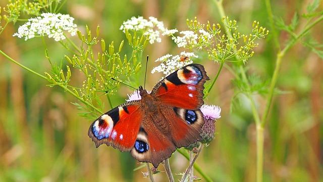 Peacock Butterfly, Edelfalter, Butterfly, Peacock