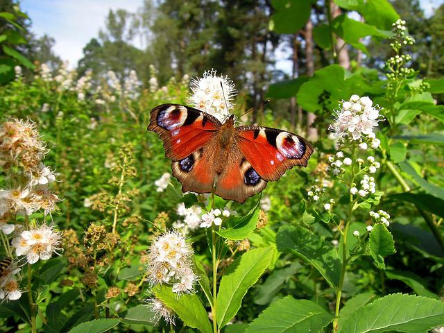 Nymphalis Io, Peacock Butterfly, Butterfly, Insect