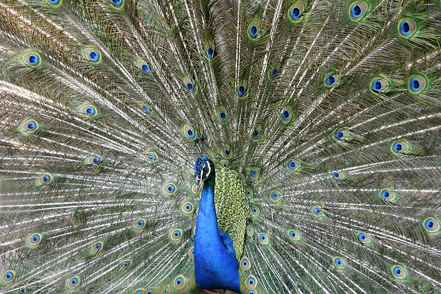Peacock, Bird, Peacock Feathers, Plumage, Colorful