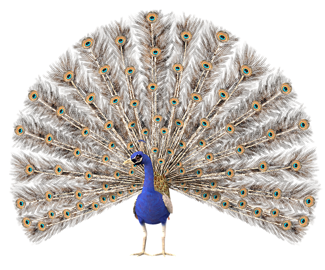 Peacock, Colorful, Bird, Feather, Blue