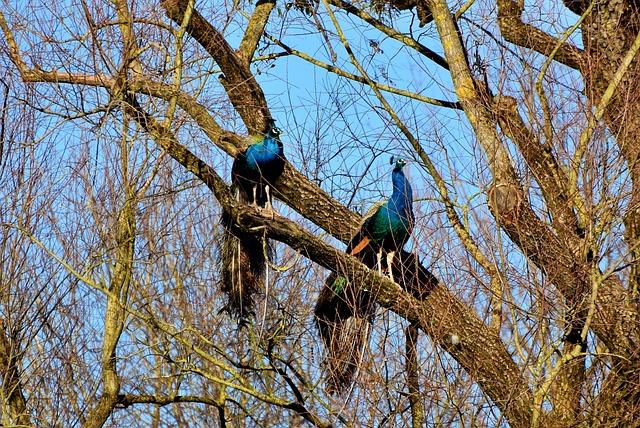 Peacock, Bird, Iridescent, Colorful, Plumage